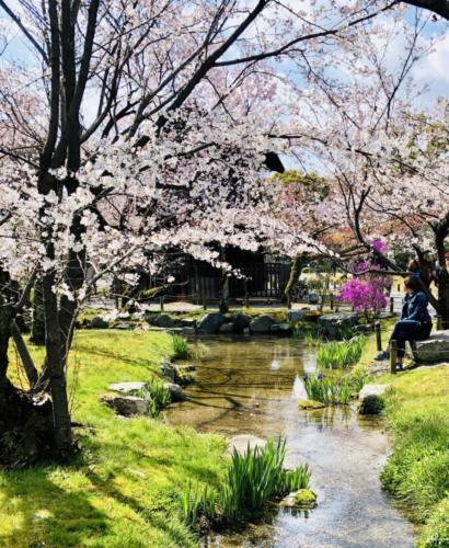 Cherry Blossom Serenity - Amie Reed