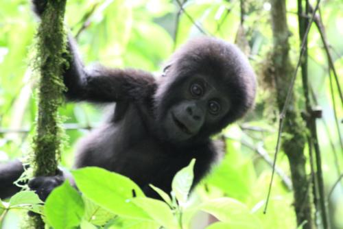 Baby Gorilla - Deidre Norman