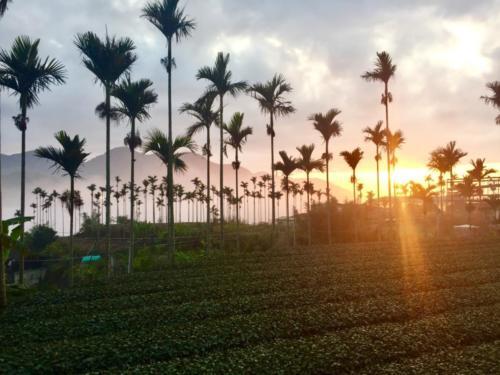 Taiwan Tea Gardens - Sara McCarthy
